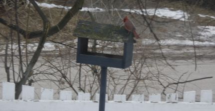 winter cardinals 2